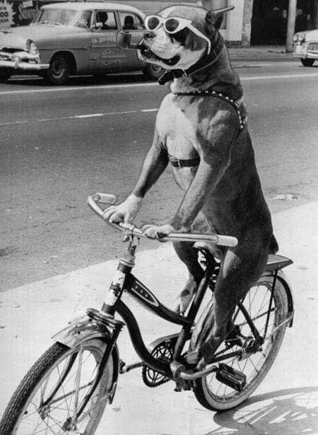 cykelhund